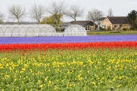 Keukenhof;Lisse;Holland;Netherlands;Spring;flower;flowers;bulb;tulip;tulips;bulb-fields;tulip-fields;horticulture;production;agriculture;floral;colour;colourful;Hyacinth;bouquet;specialist;red;blue;season;famous;yellow;house;greenhouse;polly-tunnel