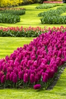 Keukenhof;Lisse;Holland;Netherlands;Spring;flower;flowers;bulb;tulip;tulips;bulb-fields;tulip-fields;horticulture;production;agriculture;floral;colour;colourful;Hyacinth;bouquet;specialist;red;blue;season;famous;garden;world-famous;Spring-garden;flower-bed;border;borders;grass;lawn;green;manicured;manicure