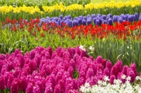 Keukenhof;Lisse;Holland;Netherlands;Spring;flower;flowers;bulb;tulip;tulips;bulb-fields;tulip-fields;horticulture;production;agriculture;floral;colour;colourful;Hyacinth;bouquet;specialist;red;yellow;orange;season;famous;garden;world-famous;Spring-garden;flower-bed;border;borders;grass;lawn;green;manicured;manicure;Daffodil