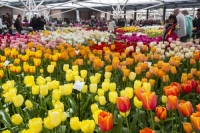 Keukenhof;Lisse;Holland;Netherlands;Spring;flower;flowers;bulb;tulip;tulips;bulb-fields;tulip-fields;horticulture;production;agriculture;floral;colour;colourful;Hyacinth;bouquet;specialist;red;yellow;orange;season;famous;garden;world-famous;Spring-garden;flower-bed;border;borders;green;manicured;manicure;Daffodil;multi-coloured;public;crowd;tourist-attraction-tourist
