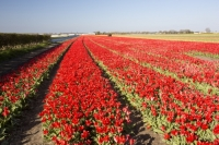 Keukenhof;Lisse;Holland;Netherlands;Spring;flower;flowers;bulb;tulip;tulips;bulb-fields;tulip-fields;horticulture;production;agriculture;floral;colour;colourful;bouquet;specialist;red;season;famous;row;rows
