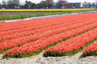 Keukenhof;Lisse;Holland;Netherlands;Spring;flower;flowers;bulb;tulip;tulips;bulb-fields;tulip-fields;horticulture;production;agriculture;floral;colour;colourful;bouquet;specialist;red;season;famous;row;rows;hyacinth