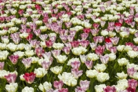 Keukenhof;Lisse;Holland;Netherlands;Spring;flower;flowers;bulb;tulip;tulips;bulb-fields;tulip-fields;horticulture;production;agriculture;floral;colour;colourful;bouquet;specialist;pink;season;famous;garden;world-famous;Spring-garden;flower-bed;border;borders;grass;lawn;green;manicured;manicure