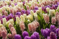 Keukenhof;Lisse;Holland;Netherlands;Spring;flower;flowers;bulb;horticulture;production;floral;colour;colourful;Hyacinth;bouquet;specialist;red;yellow;purple;season;famous;garden;world-famous;Spring-garden;flower-bed;border;borders;grass;lawn;green;manicured;manicure