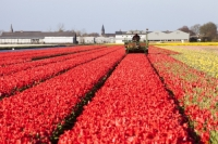 Keukenhof;Lisse;Holland;Netherlands;Spring;flower;flowers;bulb;tulip;tulips;bulb-fields;tulip-fields;horticulture;production;agriculture;floral;colour;colourful;bouquet;specialist;red;season;famous;row;rows;plant;machinary;farmer;worker;cut;cutting;dead-heading
