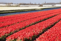 Keukenhof;Lisse;Holland;Netherlands;Spring;flower;flowers;bulb;tulip;tulips;bulb-fields;tulip-fields;horticulture;production;agriculture;floral;colour;colourful;bouquet;specialist;red;season;famous;row;rows;greenhouse;glass-house