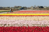 Keukenhof;Lisse;Holland;Netherlands;Spring;flower;flowers;bulb;tulip;tulips;bulb-fields;tulip-fields;horticulture;production;agriculture;floral;colour;colourful;bouquet;specialist;red;season;famous;row;rows;rainbow;multi-coloured