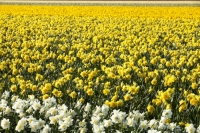 Keukenhof;Lisse;Holland;Netherlands;Spring;flower;flowers;bulb;bulb-fields;daffodil-fields;horticulture;production;agriculture;floral;colour;colourful;bouquet;specialist;season;famous;row;rows;Daffodils;variety;yellow