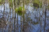 summer;woodland;green;Whitbarrow-Scar;Cumbria;UK;South-Cumbria;Foulshaw;nature-reserve;Cumbria-Wildlife-Trust;peat;peat-bog;raised-bog;wetland;bog;marsh;lowland;lowland-raised-bog;carbon;carbon-store;carbon-sequestration;climate;Foulshaw-Moss;tree;restoration;conservation;habitat;Silver-Birch;reflection;pool;Betula-pendula