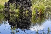 summer;woodland;green;Whitbarrow-Scar;Cumbria;UK;South-Cumbria;Foulshaw;nature-reserve;Cumbria-Wildlife-Trust;peat;peat-bog;raised-bog;wetland;bog;marsh;lowland;lowland-raised-bog;carbon;carbon-store;carbon-sequestration;climate;Foulshaw-Moss;tree;restoration;conservation;habitat;sphagnum;sphagnum-moss;pool;grass;sedge;upturned;root-bowl