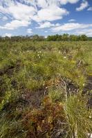 summer;woodland;green;Whitbarrow-Scar;Cumbria;UK;South-Cumbria;Foulshaw;nature-reserve;Cumbria-Wildlife-Trust;peat;peat-bog;raised-bog;wetland;bog;marsh;lowland;lowland-raised-bog;carbon;carbon-store;carbon-sequestration;climate;Foulshaw-Moss;tree;restoration;conservation;habitat;sphagnum;sphagnum-moss;pool;grass;sedge;Cotton-Grass;Eriophorum
