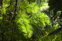 Australia;Queensland;Daintree;rainforest;woodland;trees;carbon-sink;environment;Daintree-rainforest;tropical;canopy;green;lush;verdant;species-rich;fern;palm;frond;chlorophyl