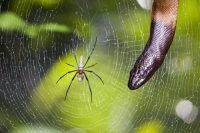 Australia;Queensland;Daintree;rainforest;woodland;trees;carbon-sink;environment;Daintree-rainforest;tropical;wildlife;web;spiders-web;silk;strong;spider;arachnid;legs;trap;insect;snake;eye;predator;hunter;hunting;reptile