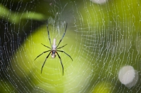 Australia;Queensland;Daintree;rainforest;woodland;trees;carbon-sink;environment;Daintree-rainforest;tropical;wildlife;web;spiders-web;silk;strong;spider;arachnid;legs;trap;insect