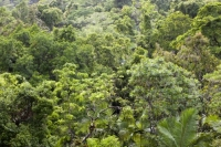 Australia;Queensland;Daintree;rainforest;woodland;trees;carbon-sink;environment;Daintree-rainforest;tropical;canopy;green;lush;verdant;species-rich;fern;palm;frond;chlorophyl;canopy