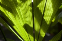 IMG_5906_leaf.jpg Palm fronds in the Daintree rainforest in the North of Queensland, Australia, which is the oldest continuously forested rainforest area on the planet.