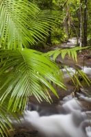 Australia;Queensland;Daintree;rainforest;woodland;trees;carbon-sink;environment;Daintree-rainforest;tropical;canopy;green;lush;verdant;species-rich;fern;frond;chlorophyl;river;warter;stream;wet