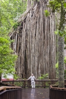 Australia;Queensland;Daintree;rainforest;woodland;trees;carbon-sink;environment;Daintree-rainforest;tropical;canopy;green;lush;verdant;species-rich;fern;palm;frond;chlorophyl;trunk;tree-trunk;massive;huge;Curtain-Fig-Tree;Green-Fig;Ficus-virens;old;Atherton-Tablelands;scale;person;dwarfed;towering