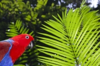 Australia;Queensland;Daintree;rainforest;woodland;trees;carbon-sink;environment;Daintree-rainforest;tropical;canopy;green;lush;verdant;species-rich;fern;palm;frond;chlorophyl;green;frond;backlit;vibrant;bright;fingers;Parrot;feathers;plumage;bright;color;colorful;red;blue;purple;eye;beak;beady;Eclectus-Parrot;Eclectus-roratus