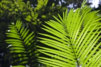 Australia;Queensland;Daintree;rainforest;woodland;trees;carbon-sink;environment;Daintree-rainforest;tropical;canopy;green;lush;verdant;species-rich;fern;palm;frond;chlorophyl;green;frond;backlit;vibrant;bright;fingers