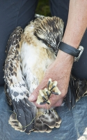 Lake-district;UK;Cumbria;science;Osprey;bird;bird-of-prey;raptor;chick;juvenile;ringing;bird-ringing;stelite-tracker;satelite-tracking;Bassenthwaite;feathers;plumage;technology;migrant;migration;tracking;ornithology;ornithologist;scientist;study;eye;beak;hands