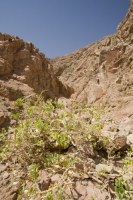 Egypt;Sinai;desert;sinai-desert;Dahab;Red-Sea;resort;coast;arabic;arab;heat;hot;dry;drought;mountain;hill;rock;rocky;geology;climate-change;global-warming;dusty;climate-shift;desertification;ridge;erosion;eroded;plant;drought-resistant;growth;growing;adapted;adaptation;survive;survival;fig;wild-fig