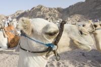 Egypt;Sinai;desert;sinai-desert;Dahab;Red-Sea;animal;mammal;Camel;beast-of-burden;arab;arabic;nomad;nomadic;desert-dweller;Bedouin;culture;wealth;caravan;tourism;tourist-trade;trip;camel-ride