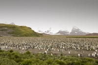 Penguin;King-Penguin;Aptenodytes-patagonicus;Salisbury-Plain;colony;nesting-colony;breeding-colony;King-Penguin-colony;nesting;breeding;reproduction;flightless;bird;numerous;Austral;South-Atlantic;Antarctic;Sub-Antarctic;southern-Ocean;island-British;South-Georgia;rugged;remote;mountain;mountainous;mountain-chain;snow;glacier;glaciation;glacial-retreat;sky;cloud;weather;cloudy;glacial-retreat;climate-change;global-warming;warming;peak;pointed;rocky;steep;rugged;remote;barren;rocky;tussock-grass;green