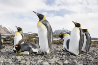 Penguin;King-Penguin;Aptenodytes-patagonicus;Prion-Island;colony;nesting-colony;breeding-colony;King-Penguin-colony;nesting;breeding;reproduction;flightless;bird;numerous;Austral;South-Atlantic;Antarctic;Sub-Antarctic;southern-Ocean;island-British;South-Georgia;rugged;remote;mountain;mountainous;mountain-chain;snow;glacier;glaciation;glacial-retreat;sky;cloud;weather;cloudy;glacial-retreat;climate-change;global-warming;warming;peak;pointed;rocky;steep;rugged;remote;barren;rocky;lying-down;comical;colouful;feathers;plumage;orange