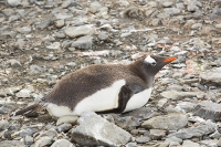 Austral;South-Atlantic;Antarctic;Sub-Antarctic;southern-Ocean;island-British;South-Georgia;rugged;remote;beach;tame;approachable;Prion-Island;Southern;pebble;eyes;penguin;bird;flightless;Gentoo;Gentoo-Penguin;Pygoscelis-papua;orange;bill;beak;funny;humorous;climate-change;global-warming;expansion;expand;wing;wings;flipper;flippers;wildlife-spectacle;orange;fun;funny;Hannah-Point;Livingston-Island;South-Shetland-Islands;Antarctic;lying;lying-down;rest;resting