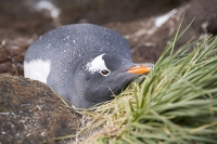 Austral;South-Atlantic;Antarctic;Sub-Antarctic;southern-Ocean;island-British;South-Georgia;rugged;remote;beach;tame;approachable;Prion-Island;Southern;pebble;eyes;penguin;bird;flightless;Gentoo;Gentoo-Penguin;Pygoscelis-papua;orange;bill;beak;feet;webbed-feet;walk;walking;waddle;funny;humorous;climate-change;global-warming;expansion;expand;wing;wings;flipper;flippers;wildlife-spectacle;fun;Prion-Island;South-Georgia