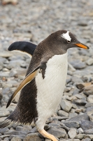 Austral;South-Atlantic;Antarctic;Sub-Antarctic;southern-Ocean;island-British;South-Georgia;rugged;remote;beach;tame;approachable;Prion-Island;Southern;pebble;eyes;penguin;bird;flightless;Gentoo;Gentoo-Penguin;Pygoscelis-papua;orange;bill;beak;feet;webbed-feet;walk;walking;waddle;funny;humorous;climate-change;global-warming;expansion;expand;wing;wings;flipper;flippers;flightless