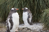 Austral;South-Atlantic;Antarctic;Sub-Antarctic;southern-Ocean;island-British;South-Georgia;rugged;remote;beach;tame;approachable;Prion-Island;Southern;pebble;eyes;penguin;bird;flightless;Gentoo;Gentoo-Penguin;Pygoscelis-papua;orange;bill;beak;feet;webbed-feet;walk;walking;waddle;funny;humorous;climate-change;global-warming;expansion;expand;wing;wings;flipper;flippers;flightless;green;Tussock-Grass;moult;moulting;feathers;catastrophic-moult;shed;shedding