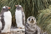 Austral;South-Atlantic;Antarctic;Sub-Antarctic;southern-Ocean;island-British;South-Georgia;rugged;remote;beach;tame;approachable;Prion-Island;Southern;pebble;eyes;penguin;bird;flightless;Gentoo;Gentoo-Penguin;Pygoscelis-papua;orange;bill;beak;feet;webbed-feet;walk;walking;waddle;funny;humorous;climate-change;global-warming;expansion;expand;wing;wings;flipper;flippers;flightless;green;Tussock-Grass;moult;moulting;feathers;catastrophic-moult;shed;shedding;seal;Pinniped;Antarctic-Fur-Seal;pup