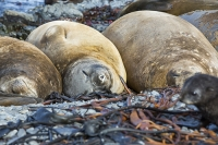 Austral;South-Atlantic;Antarctic;Sub-Antarctic;southern-Ocean;island-British;South-Georgia;rugged;remote;beach;rest;resting;tame;approachable;Prion-Island;seal;Southern-Elephant-Seal;Elephant-Seal;Pinniped;Mirounga-leonina;hauled-out;haul-out;pebble;face;eyes;nose;Antarctic-Fur-Seal