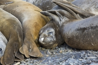 Austral;South-Atlantic;Antarctic;Sub-Antarctic;southern-Ocean;island-British;South-Georgia;rugged;remote;beach;rest;resting;tame;approachable;Prion-Island;seal;Southern-Elephant-Seal;Elephant-Seal;Pinniped;Mirounga-leonina;hauled-out;haul-out;pebble;face;eyes;nose;huddle;close;contact;sleep;sleeping;rest;resting;flipper;pinniped