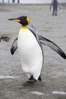 Penguin;King-Penguin;Aptenodytes-patagonicus;Salisbury-Plain;colony;nesting-colony;breeding-colony;King-Penguin-colony;nesting;breeding;reproduction;flightless;bird;numerous;Austral;South-Atlantic;Antarctic;Sub-Antarctic;southern-Ocean;island-British;South-Georgia;colouful;feathers;plumage;bill;beak;orange;wings;flap;walk;walking;comical;amusing
