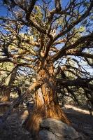 USA;US;America;California;tourist-attraction;light;sunlight;Sequoia-National-Park;Autumn;Fall;tree;mountain;forest;woodland;conifer;Pine-tree;fir-tree;giant;huge;massive;tall;Giant-Redwood;Sequoia;scale;bark;brown;orange;tree-trunk;girth;gigantic