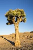 California;USA;America;Death-Valley;desert;drought;hot;dry;low;heat;Joshua-Tree;Yucca-brevifolia;specialist;adaptation;water-retention