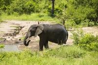 Malawi;Africa;Shire-Valley;Majete;Majete-Wildlife-reserve;wildlife;wildlife;mud;water-hole;watering-hole;Elephant;African-Elephant;trunk;ears;drinking;Loxodonta-africana;tusk;tusks;ivory
