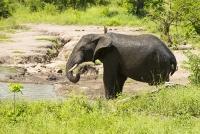 Malawi;Africa;Shire-Valley;Majete;Majete-Wildlife-reserve;wildlife;mud;water-hole;watering-hole;Elephant;African-Elephant;trunk;ears;drinking;Loxodonta-africana;tusk;tusks;ivory;tusk;tusks;ivory;mud;splashing;bathing;sunscreen;spray;spraying