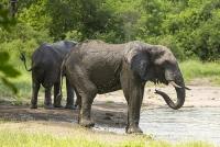 Malawi;Africa;Shire-Valley;Majete;Majete-Wildlife-reserve;wildlife;wildlife;mud;water-hole;watering-hole;Elephant;African-Elephant;trunk;ears;drinking;Loxodonta-africana;tusk;tusks;ivory;mud;splashing;bathing;sunscreen